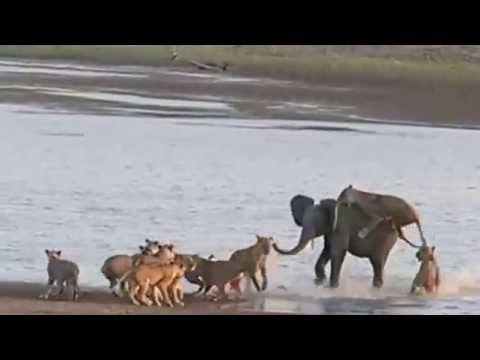 Time + Tide South Luangwa, Zambia - Hercules the Elephant vs 14 Lions
