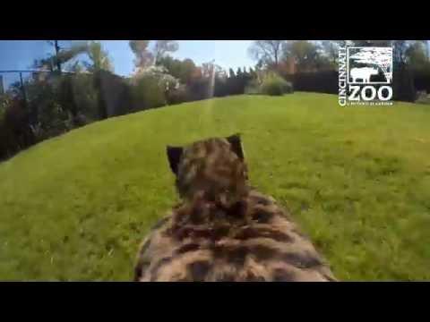 GoPro View of Cheetah Run - Cincinnati Zoo