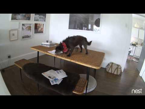 Nest Cam | Mail Dog