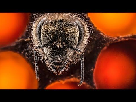 - Первые 21 день жизни пчелы в гипнотическом 60-секундном таймлапсе