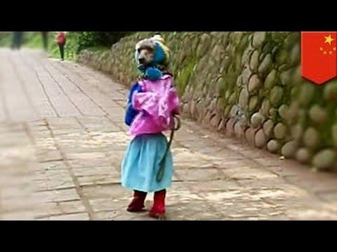 Пуделя нарядили школьницей и заставили ходить на задних лапах