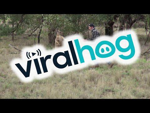 необычное, животные, OMG-WTF - Этот мужик дал по морде кенгуру, спасая собаку. А чего добились вы?