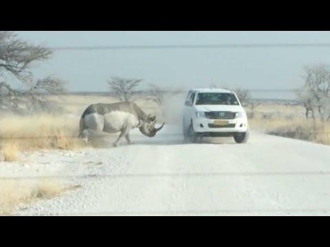 - Видео: машина с туристами выдержала нападение носорога