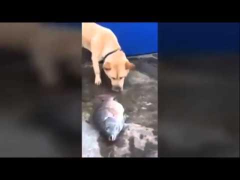 животные, душевное - Видео: Собака с золотым сердцем пытается спасти жизнь рыбам