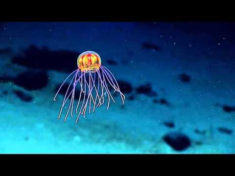До дна: прямая видеотрансляция из Марианской впадины - телевидение, интернет, знания, животные