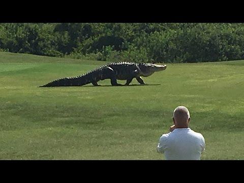 , Аллигатор вышел на поле для гольфа во время игры, LIKE-A.RU
