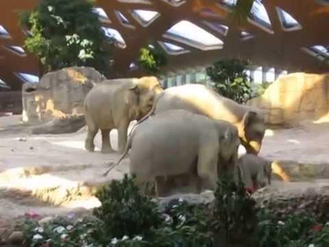 Ausrutscher von Baby Elefant Omysha - Zoo Zürich