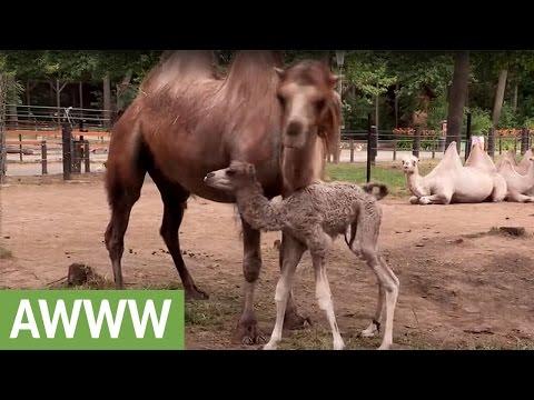 Первые шаги верблюжонка настолько трогательны, насколько можно себе представить - животные, душевное, дети