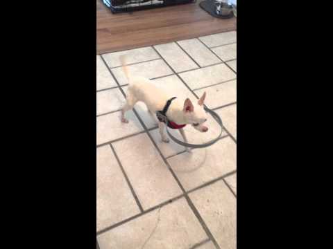 животные, гифки - Хозяин придумал, как помочь жить полноценной жизнью своей слепой собаке