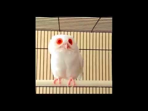 Red-eyed Albino Owl