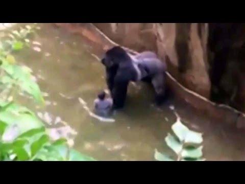 ЧП, животные, дети - Как ребенок упал в вольер с гориллой и чем это кончилось