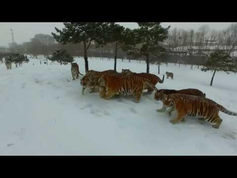 No comment: Тигры охотятся на дрона