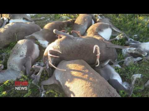 ЧП, картинки, животные - Как выглядят 323 оленя, погибших от одного удара молнии