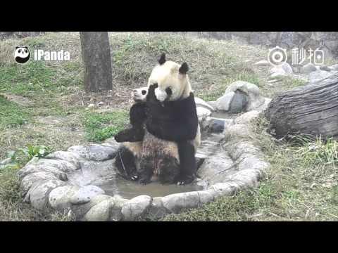 Unlike Tian Tian, this baby panda just doesn't seem enjoy bathing at all