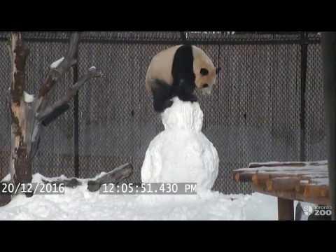 животные - Попробуйте не засмеяться, глядя на то, как эта панда играет со снеговиком