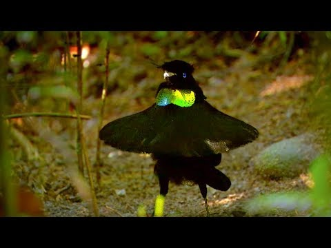 Bird Of Paradise: Appearances COUNT!   Animal Attraction   BBC Earth
