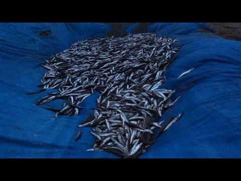 Уёк (мойва) собирают люди в Охотском море на Сахалине