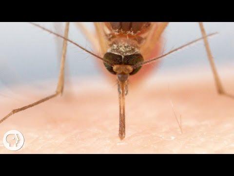 Ученые засняли, как именно комары пьют нашу кровь - знания, животные