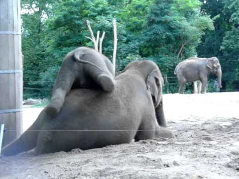Cute baby elephant rides his mother