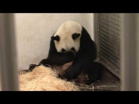 Hao Hao Panda Baby Born in Belgian 06/2016