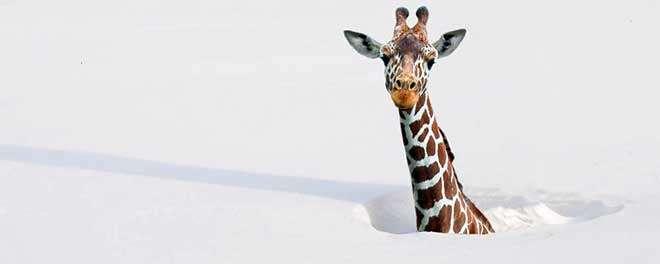 фотографии зверей в снегу