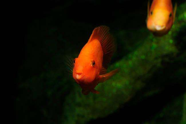 Blood parrot cichlid swimming in aquaria.