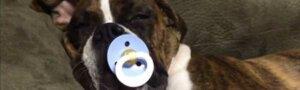 Видео: Собака, которая  не засыпает без соски