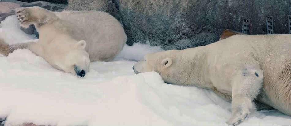 Реакция белых медведей на завезенный в зоопарк снег