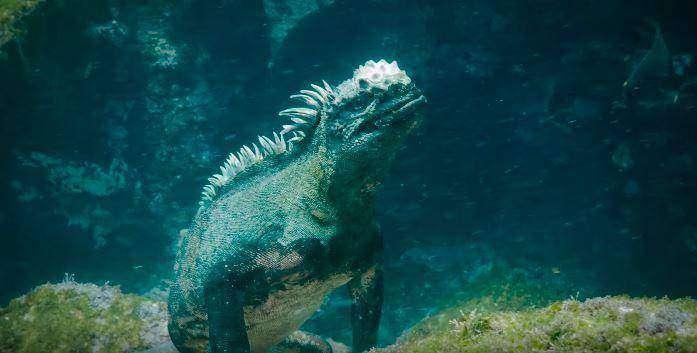 , На Галапагосах нашли игуану-Годзиллу размером с человека, LIKE-A.RU