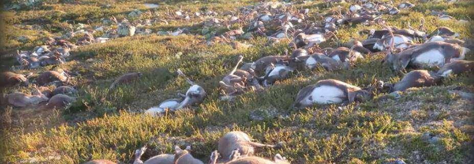 Как выглядят 323 оленя, погибших от одного удара молнии